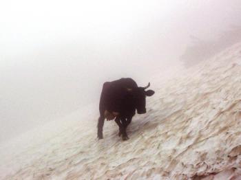 Kráva se bez problému prochází po sněhovém poli které nahání